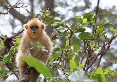"""广州动物园小川金丝猴取名""""明亮""""(组图)"""