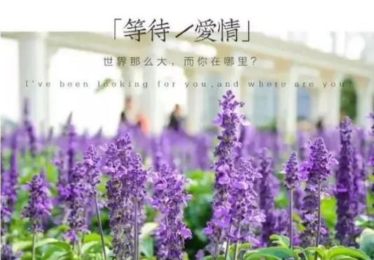 苏州半岛薰衣草庄园花期预告及花语介绍