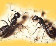 双鸭山特产:大黑蚂蚁