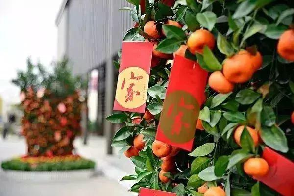 深圳春节添新打卡胜地  光明小镇2000亩花海绽放