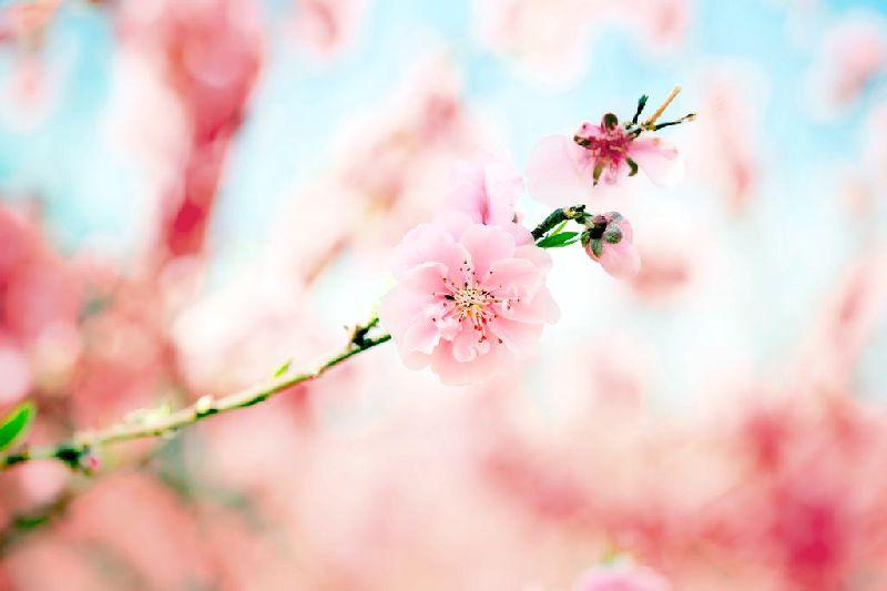 天津樱花赏花期及地点推荐
