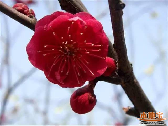 深圳梅园梅花开(地址+看点+怎么去)