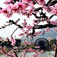 无锡阳山桃花节攻略