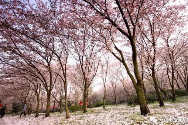 无锡鼋头渚赏樱花地图