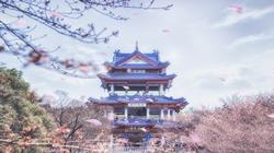 2018无锡鼋头渚樱花节